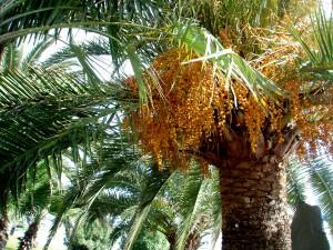 Palma-datte600.jpg