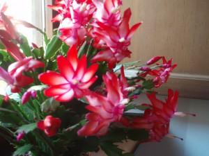 cactus natale2